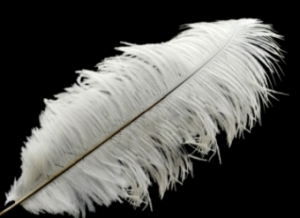 "Selected Ostrich Feathers  22""-28"" length"